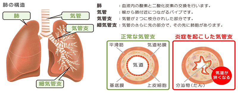 画像:肺の構造